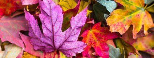 Maple Leaves Korea