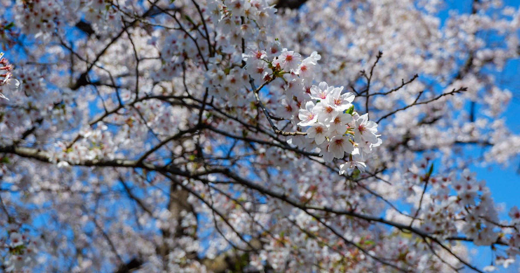 Fiori di ciliegio in Corea