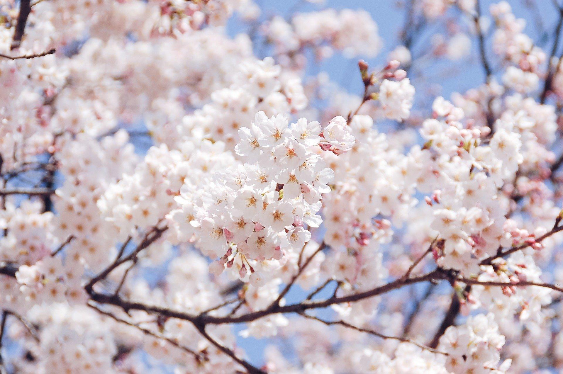 Cherry Blossom Season In Korea Where To Go And What To Do Go Go Hanguk