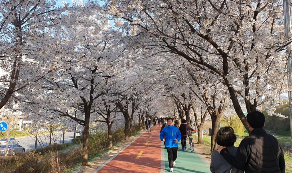 seoul forest cherry blossom
