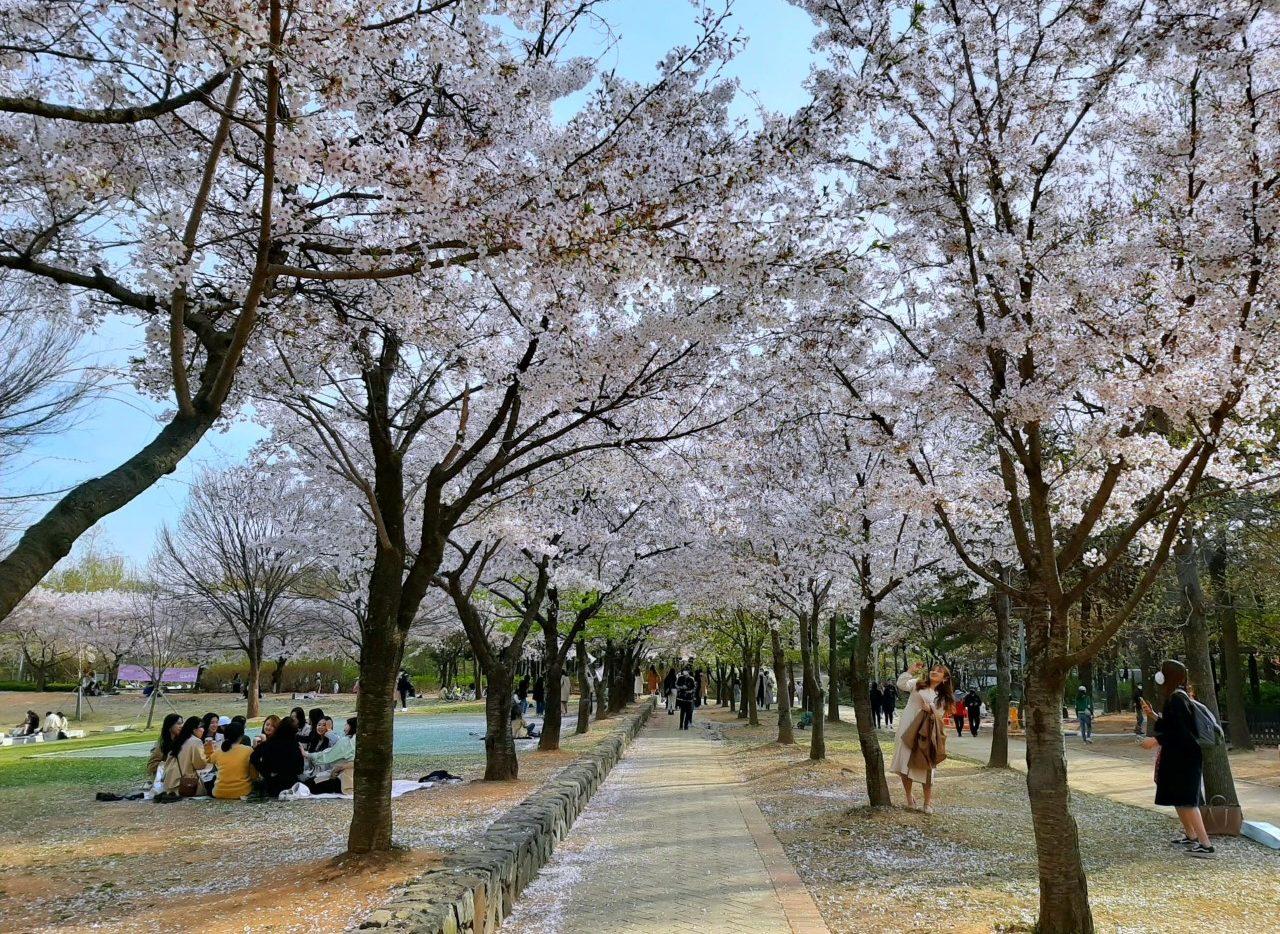 Fiori di ciliegio in Corea 2021
