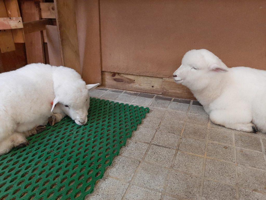 Cose da fare a Hongdae: andare in un animal cafe con gli agnellini